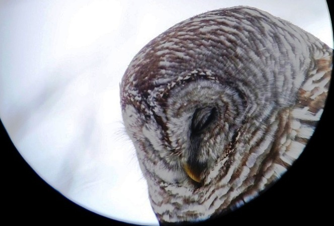 Barred Owl  Photograph by Henry Walters