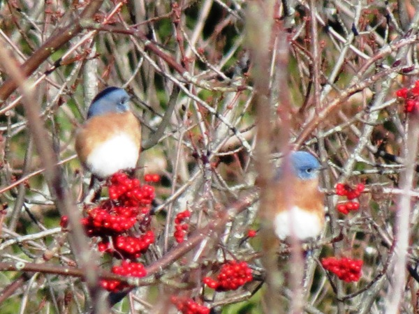 Eastern Bluebirds on American Rowan  Photograph by Henry Walters