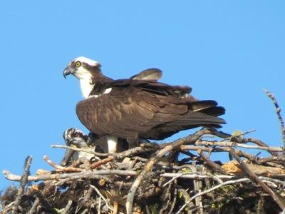 Osprey & Chick On Nest Photograph by Henry Walters