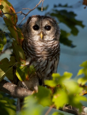 Barred Owl Photograph by Aiden Moser