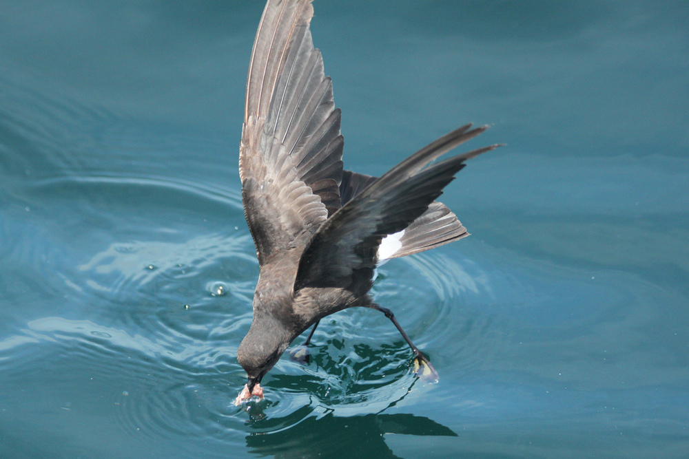 Wilson's Storm-petrel Photograph by Aiden Moser