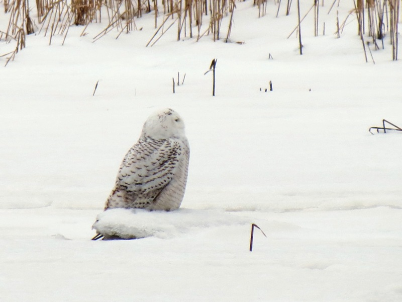 """""""Hedwig,"""" Salisbury Beach State Reservation, 2/16/14 Photograph by Henry Walters"""