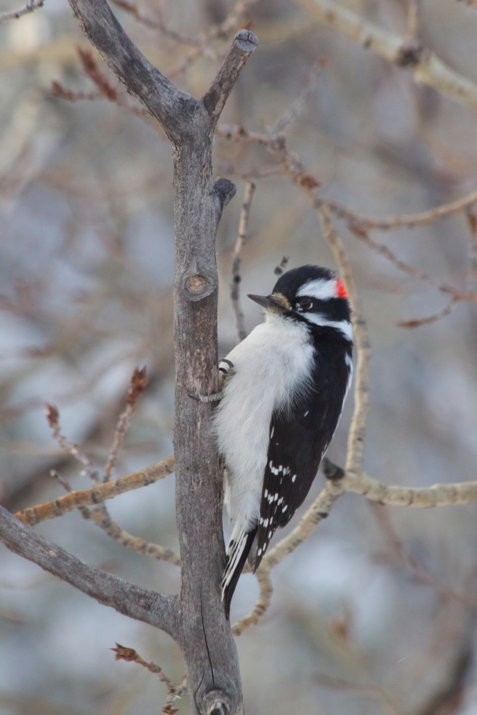 Male Downy Woodpecker Photograph by Aiden Moser