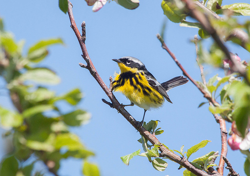 Magnolia Warbler Photograph by Aiden Moser