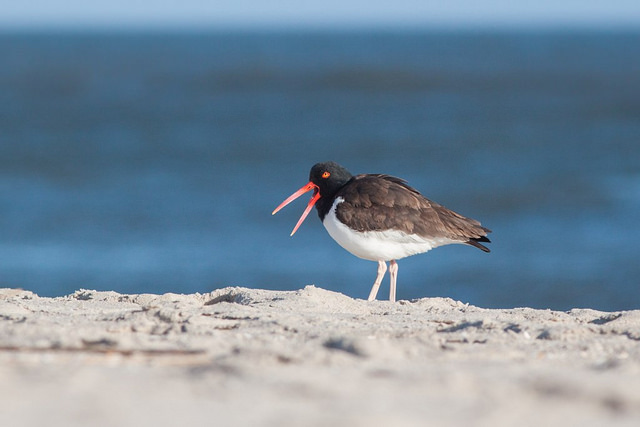 Aiden Moser, Harriers' Officer and photographer extraordinaire, traveled to Cape May, New Jersey in April, where he caught this American Oystercatcher in mid-sentence. Or was it mid-yawn?