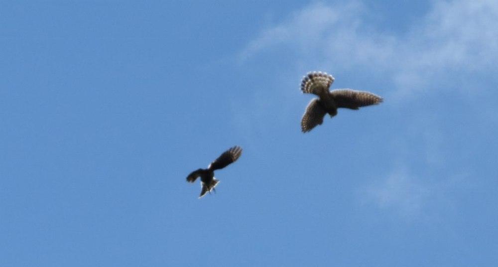 A Merlin divebombs a Sharp-shinned Hawk on migration Photograph by Cynthia Nichols