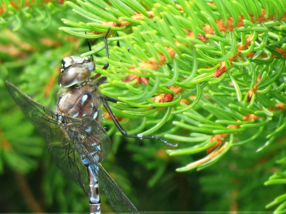 Variable Darner Photograph by Henry Walters