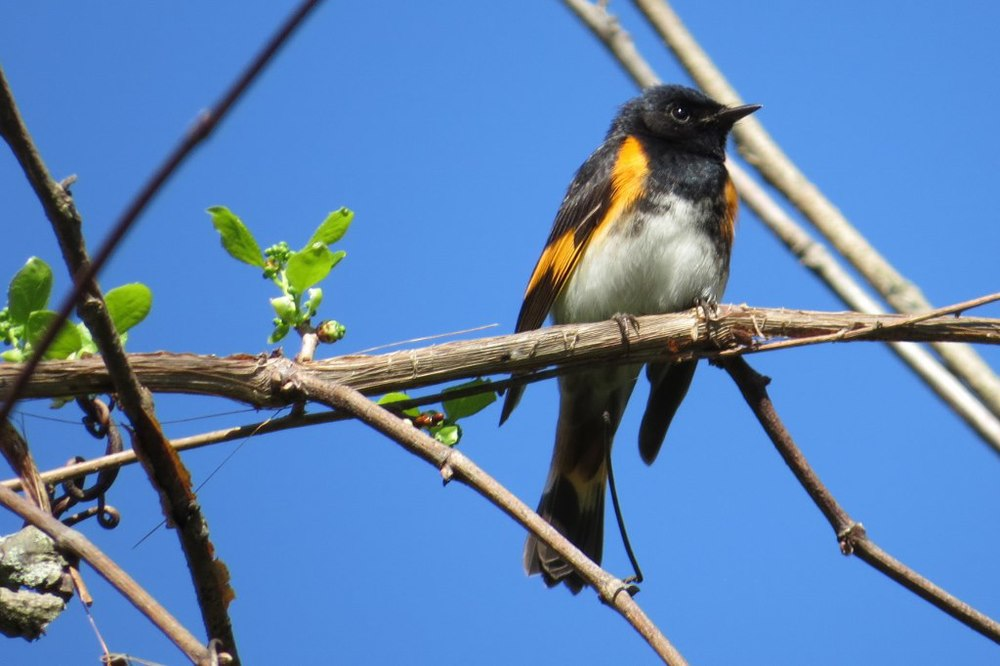 A male American Redstart posed handsomely for us along the rail trail in Hinsdale, overlooking the Connecticut River.