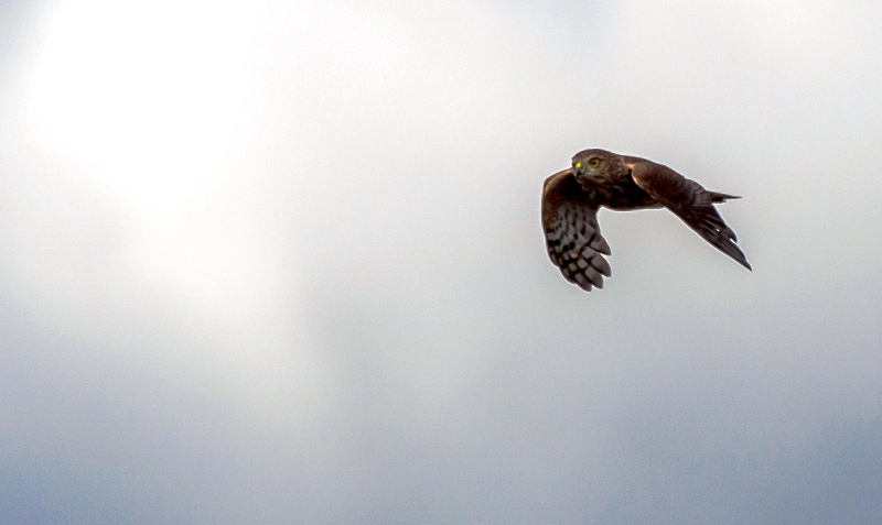 A young Sharp-shinned Hawk buzzes by, heading southward Photograph by Andre Moraes