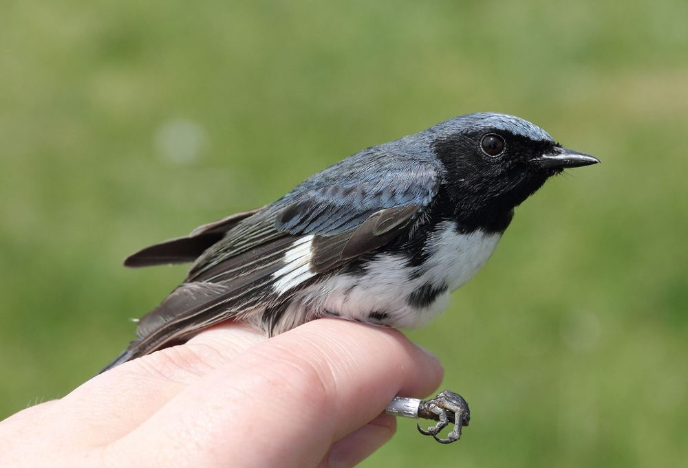 A newly banded male Black-throated Blue Warbler Photograph by Lauren Kras