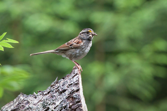 A White-throated Sparrow, bringing food home to little ones along the Nancy Pond Trail in Crawford Notch  Photograph by Aiden Moser