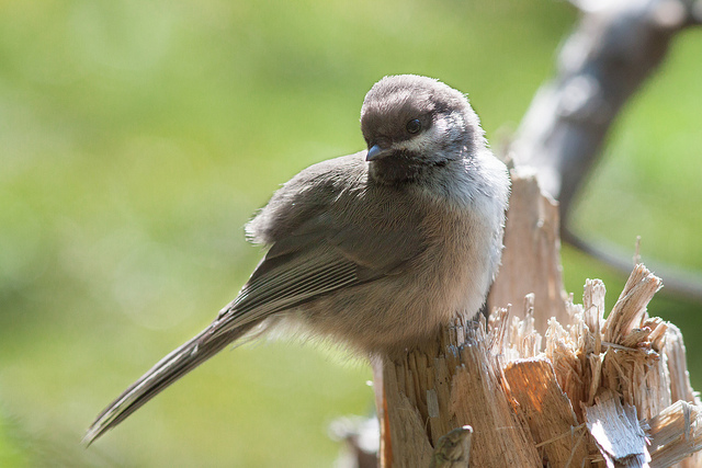 Boreal Chickadee, Cannon Mountain Photograph by Aiden Moser