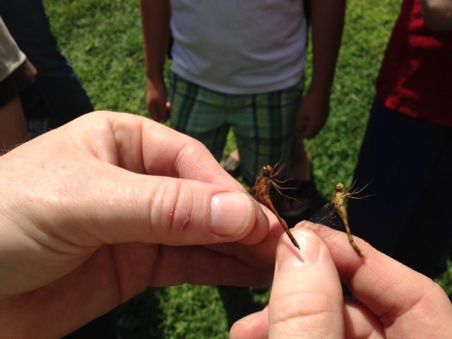 Tom Young led the Harriers on their inaugural dragonfly expedition on August 24. Combing the pond edges and fields around Joe English hill, they had plenty of success catching, studying, and learning about these agile flyers. Photographs by Kate Kallfelz