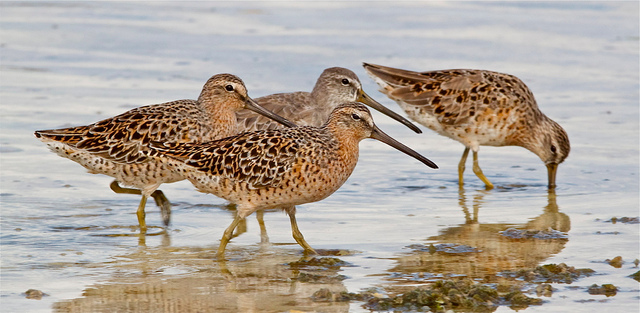 Short-billed Dowitchers Photograph by Aiden Moser