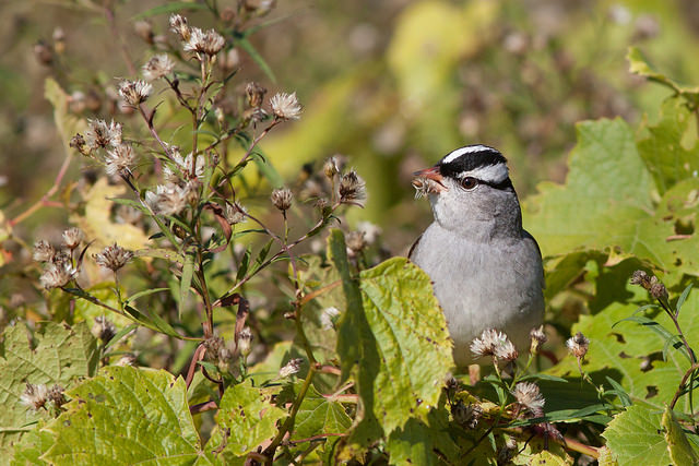 "White-throated Sparrow...always a valuable find on 'Superbowl"" Saturday... Photograph by Aiden Moser"