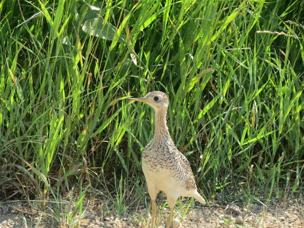 Upland Sandpiper Photograph by Henry Walters