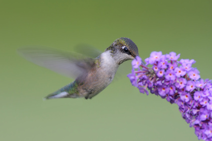 Hummingbird and Butterfly Bush Photo by Steve Byland