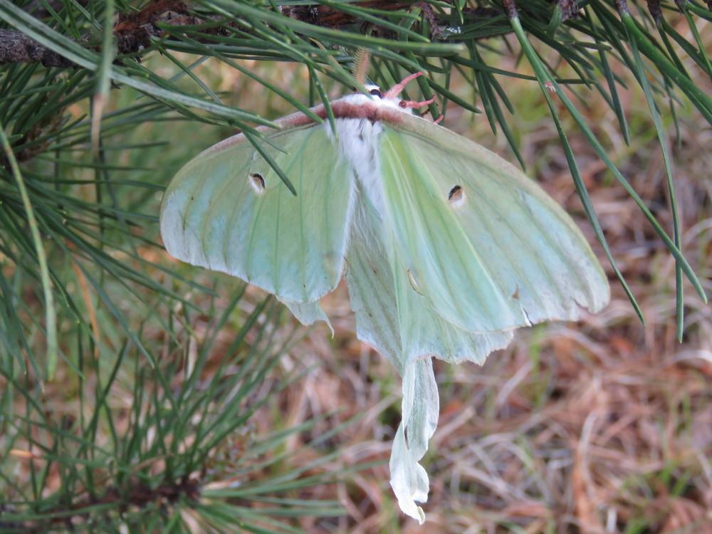 Luna Moth_Rob Mumford.jpg