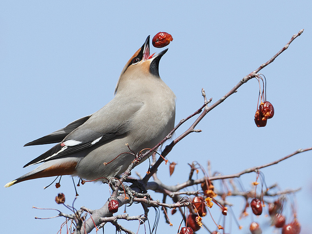 Bohemian Waxwing showing off... Photograph by Len Medlock