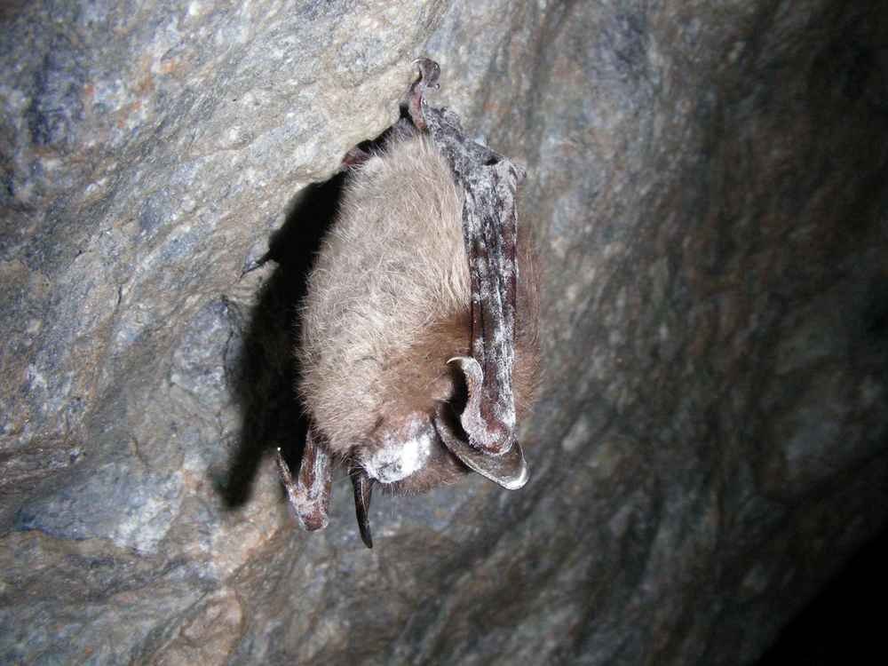 "Little Brown Bat, showing ""white nose"" fungus Photograph by Marvin Moriarty, USFWS"