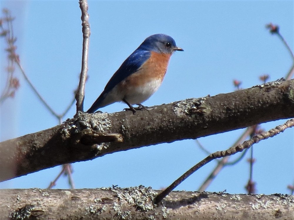 A lingering late-season Eastern Bluebird is always a great find in the Monadnock-area Christmas Bird Count. Photo by Henry Walters