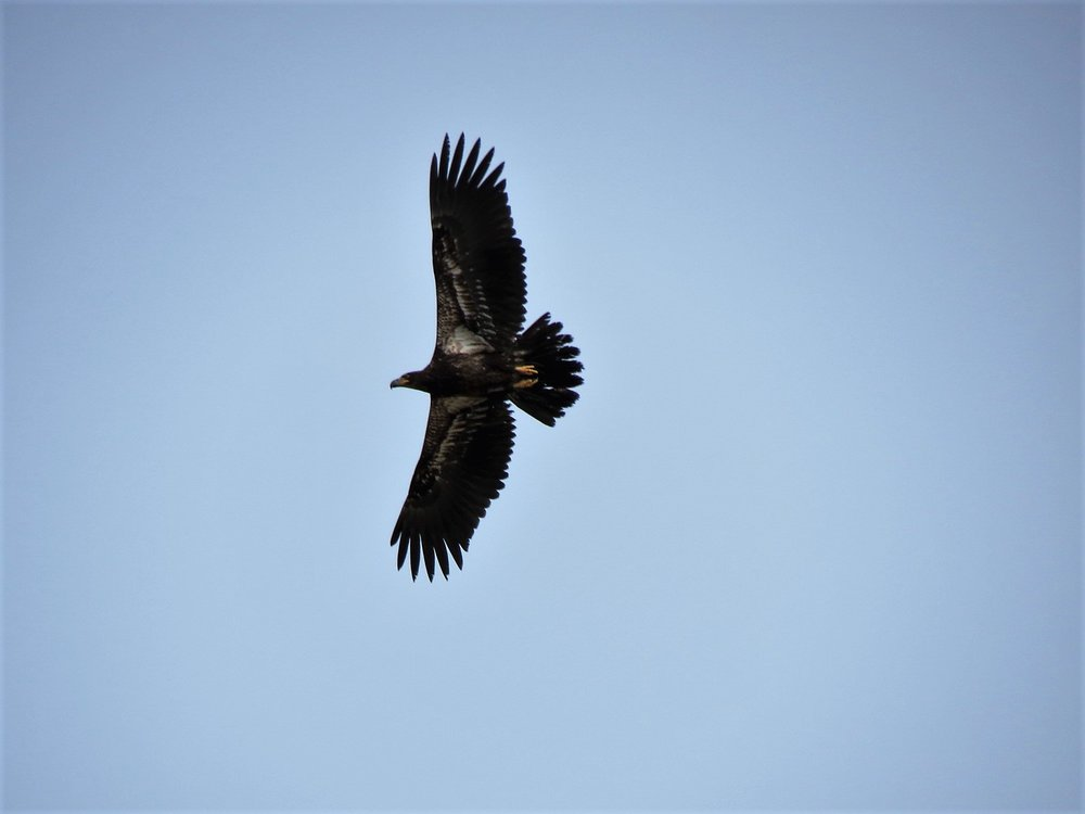 Immature Bald Eagle Photograph by Henry Walters