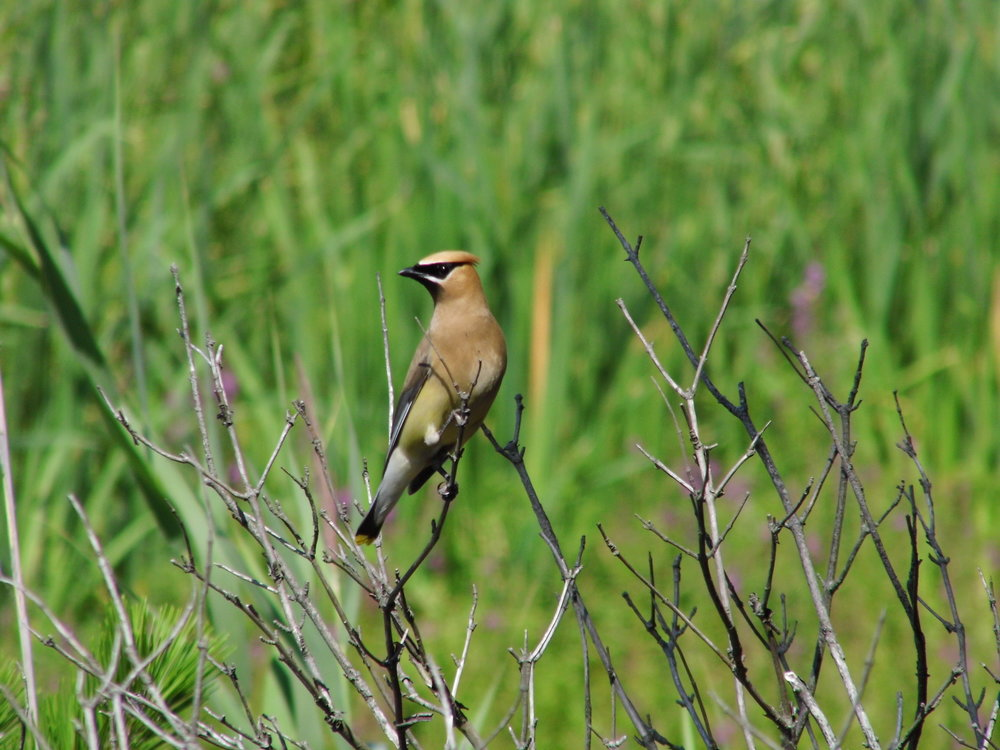 A Cedar Waxwing photographed by Brynlee Kimball during our last trip to Plum Island.