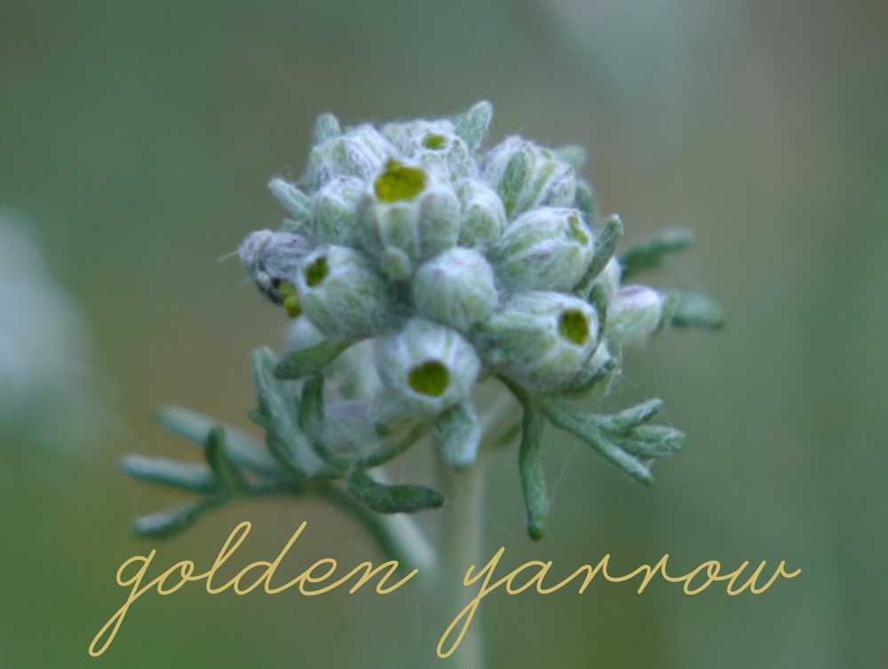 goldenyarrow.jpg