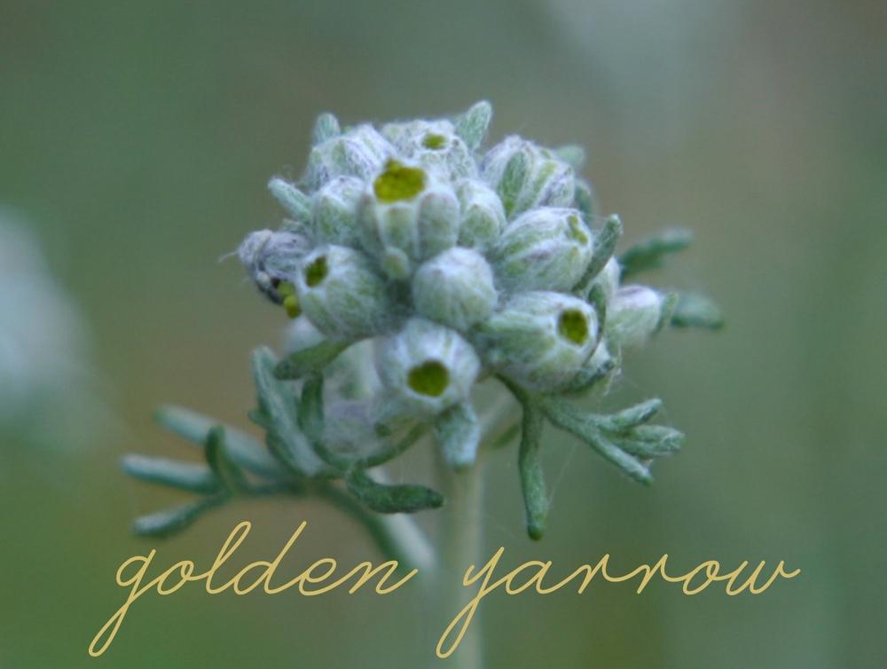 goldenyarrow.jpg