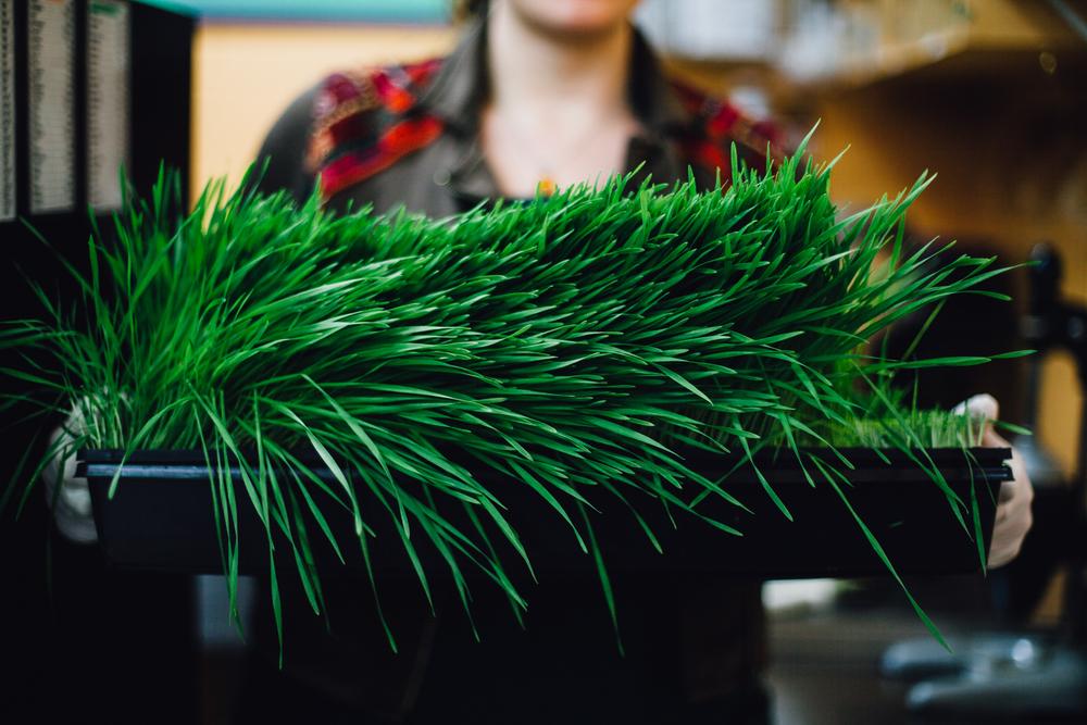 iy-wheatgrass-2015-8153.jpg