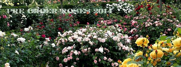 Rose PreOrder.jpg