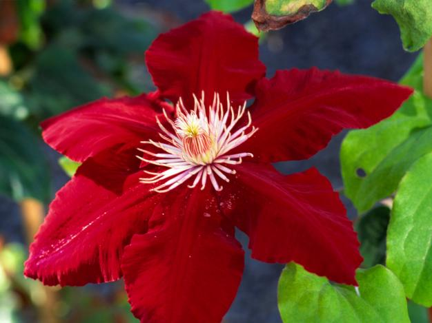 "This ""Queen of the Climbers"" is Clematis Rebecca with stunning bright red 5-7"" flowers. Height: 6-8' Spread: 4' Bloom time: Mid-Spring to Early Summer Light: Full Sun Zone:4-10."