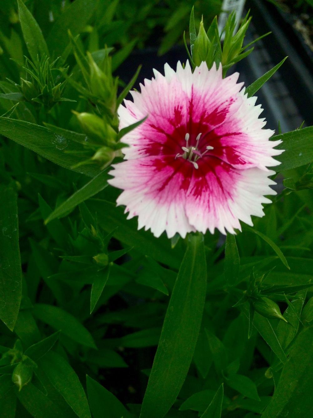 Early annuals edwards greenhouse bright daisy like flowers full sun 24 tall izmirmasajfo