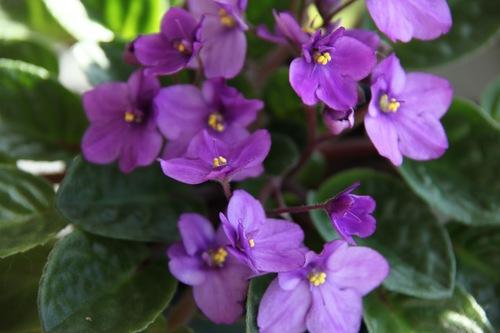 African+violets+003.jpg