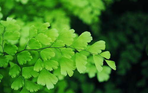 maidenhair_fern_iii_by_nkear5-d3378i4.jpg