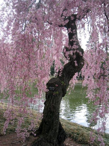 Gorgeous weeping cherry blossoms....nature's symbol Spring is here!