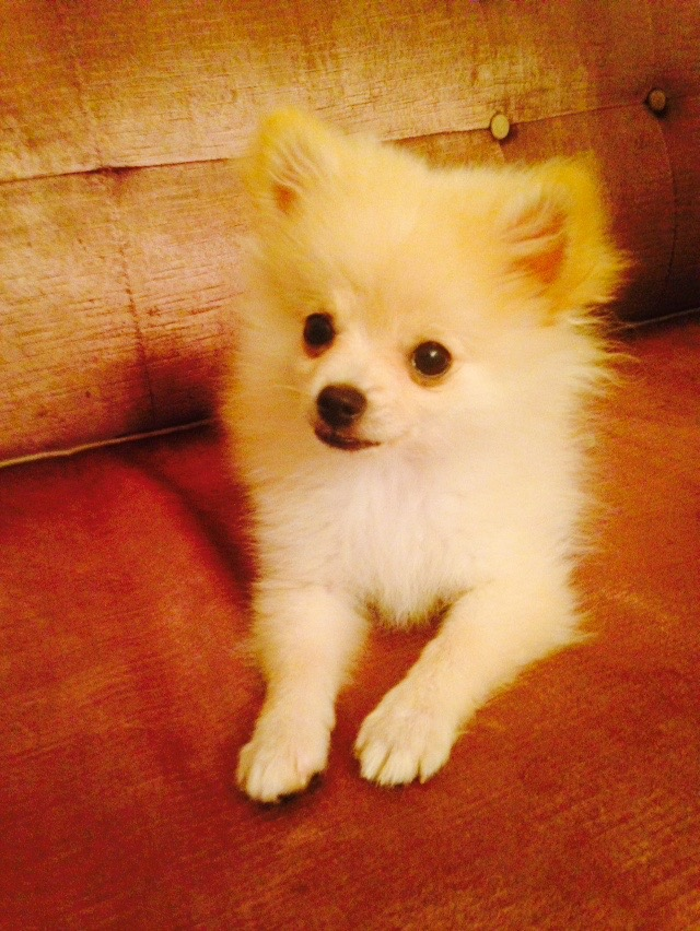 Spike the Pomeranian Puppy @ 4 months old.