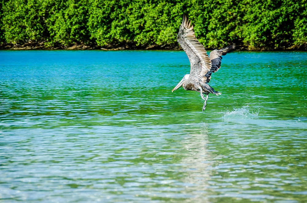 pelican, Virgin Islands National Park 11/13