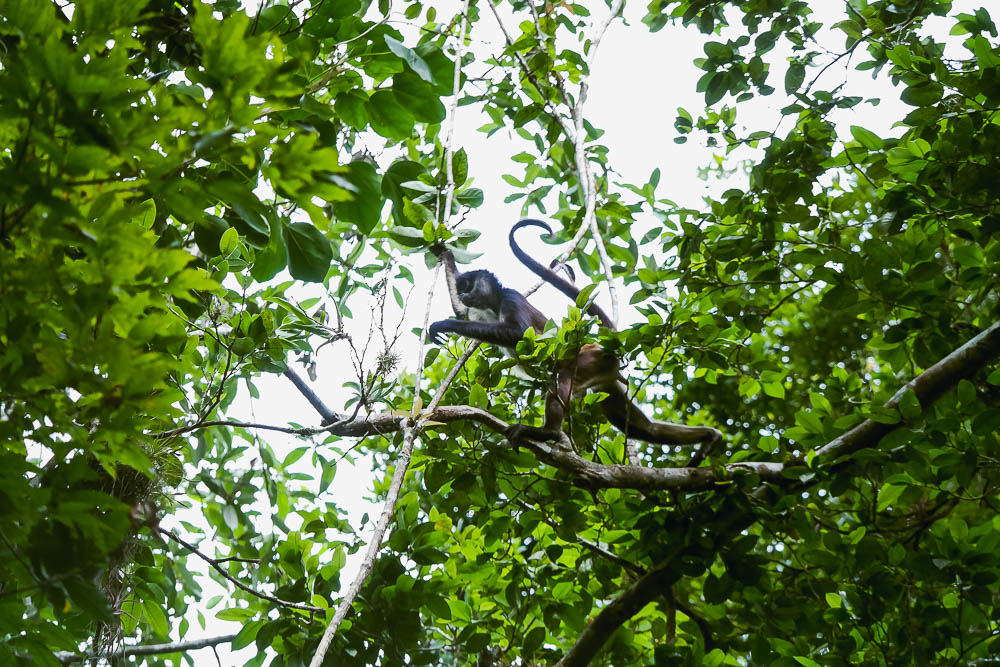 abundance of wildlife in the forest, including toucans and these acrobats!
