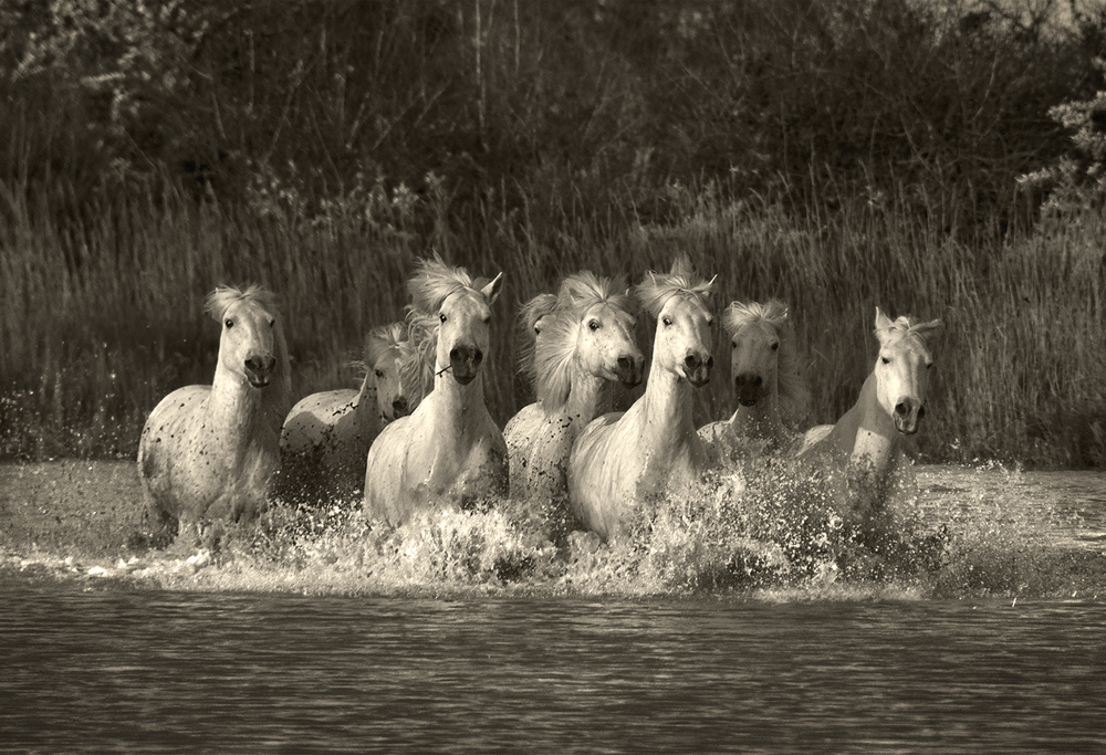 Galloping through the Marsh, Camargue