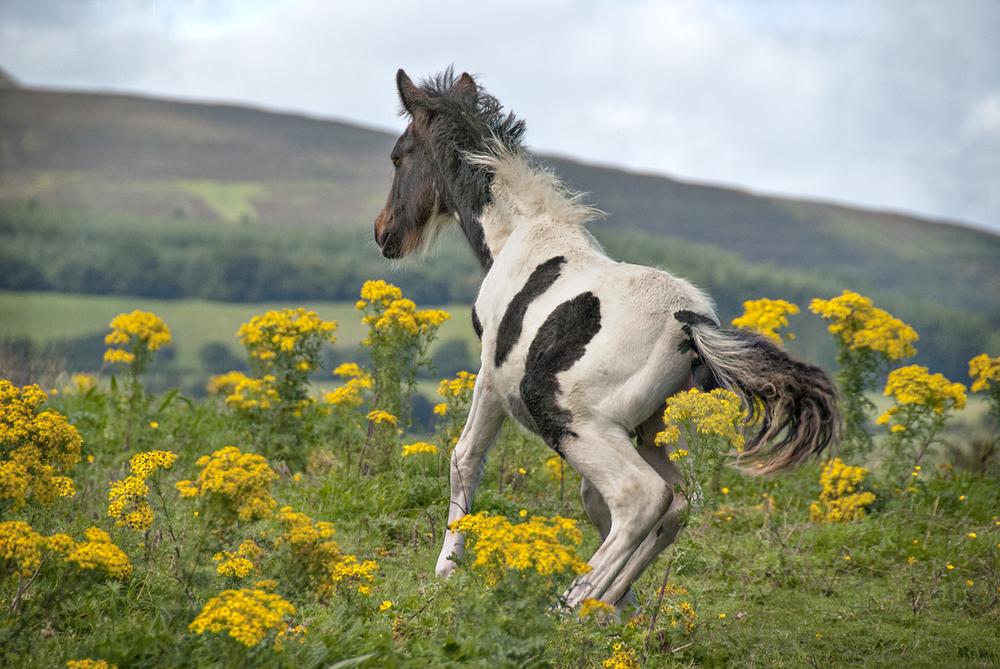Baby Horse, Glenties