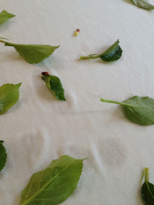 laying out apple leaves