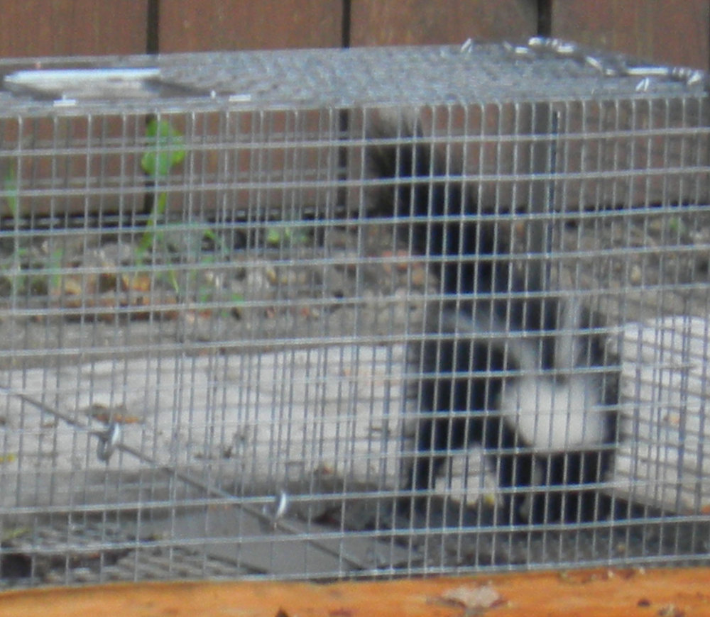 Caged Skunk, who was taken away by animal control.