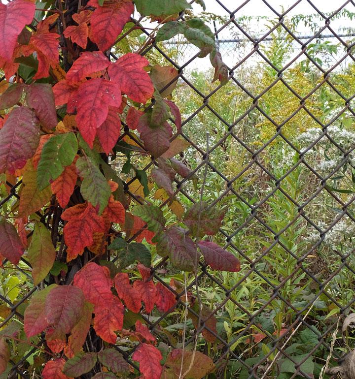 vine_fence.jpg