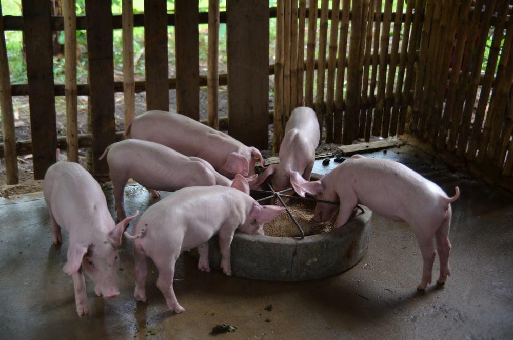 Sponsored pig farm!
