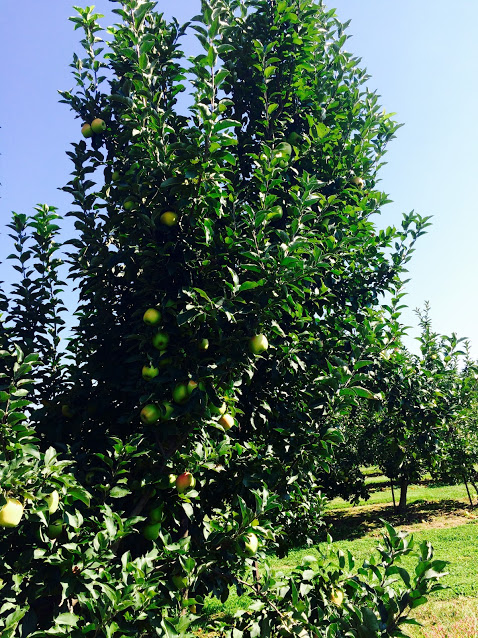 An apple tree beating Granny Smith apples at Lyda Farms in Hendersonville, NC