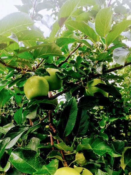 Apple tree upclose