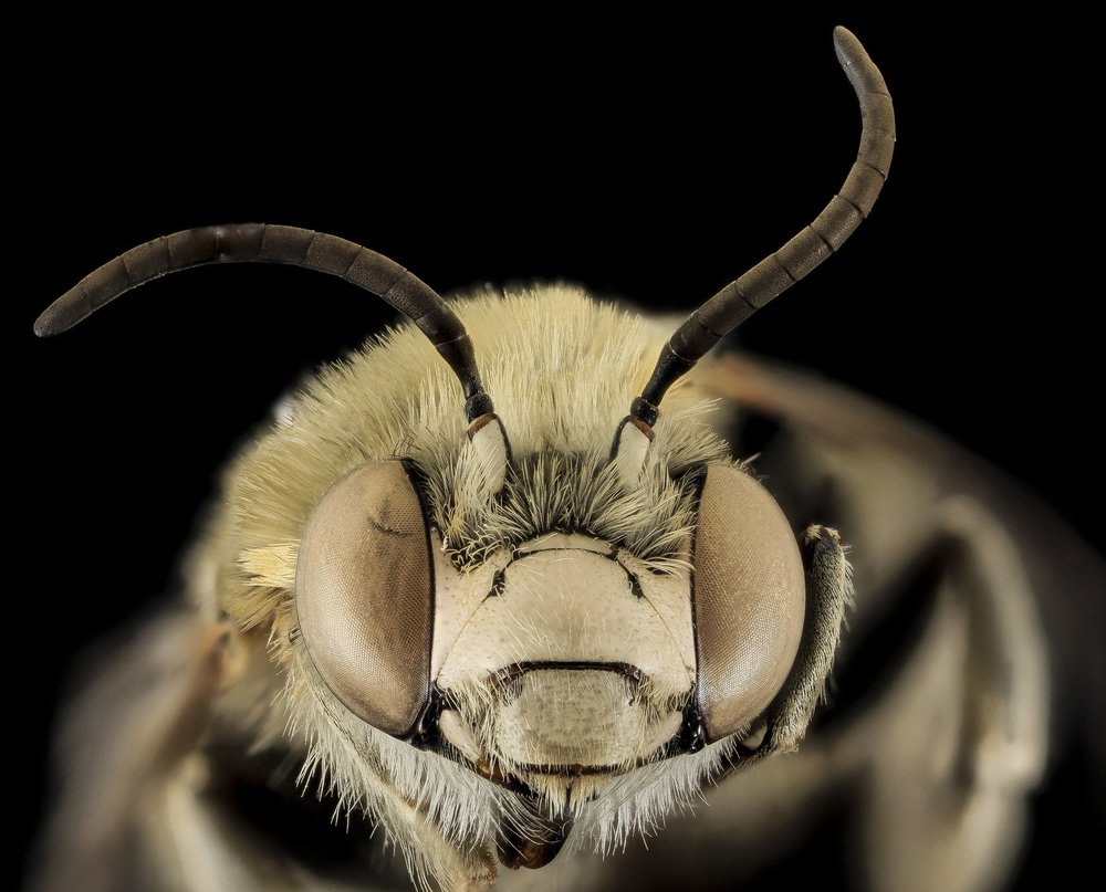 bee-bug-close-up-33662.jpg