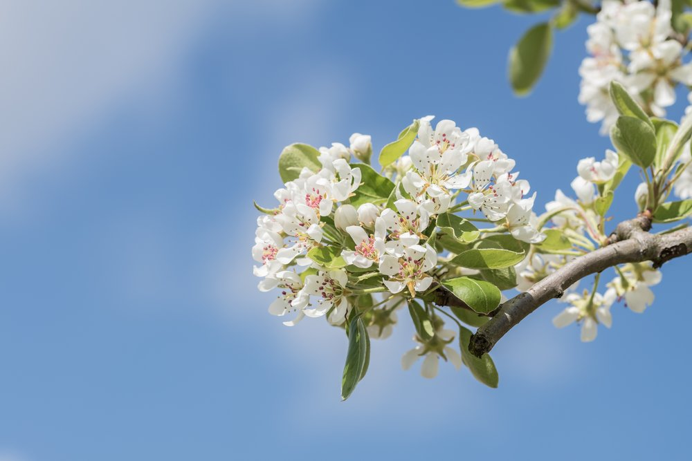 An apple blossom in the spring