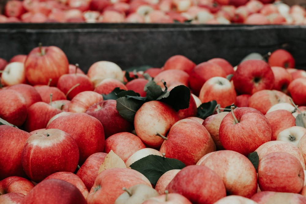 Gala apples picked from the tree, nestled in a bin, ready to become cider